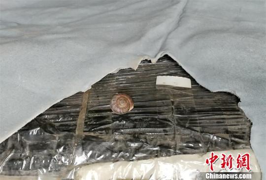 广东茂名口岸截获乳状耳形螺属全国首次
