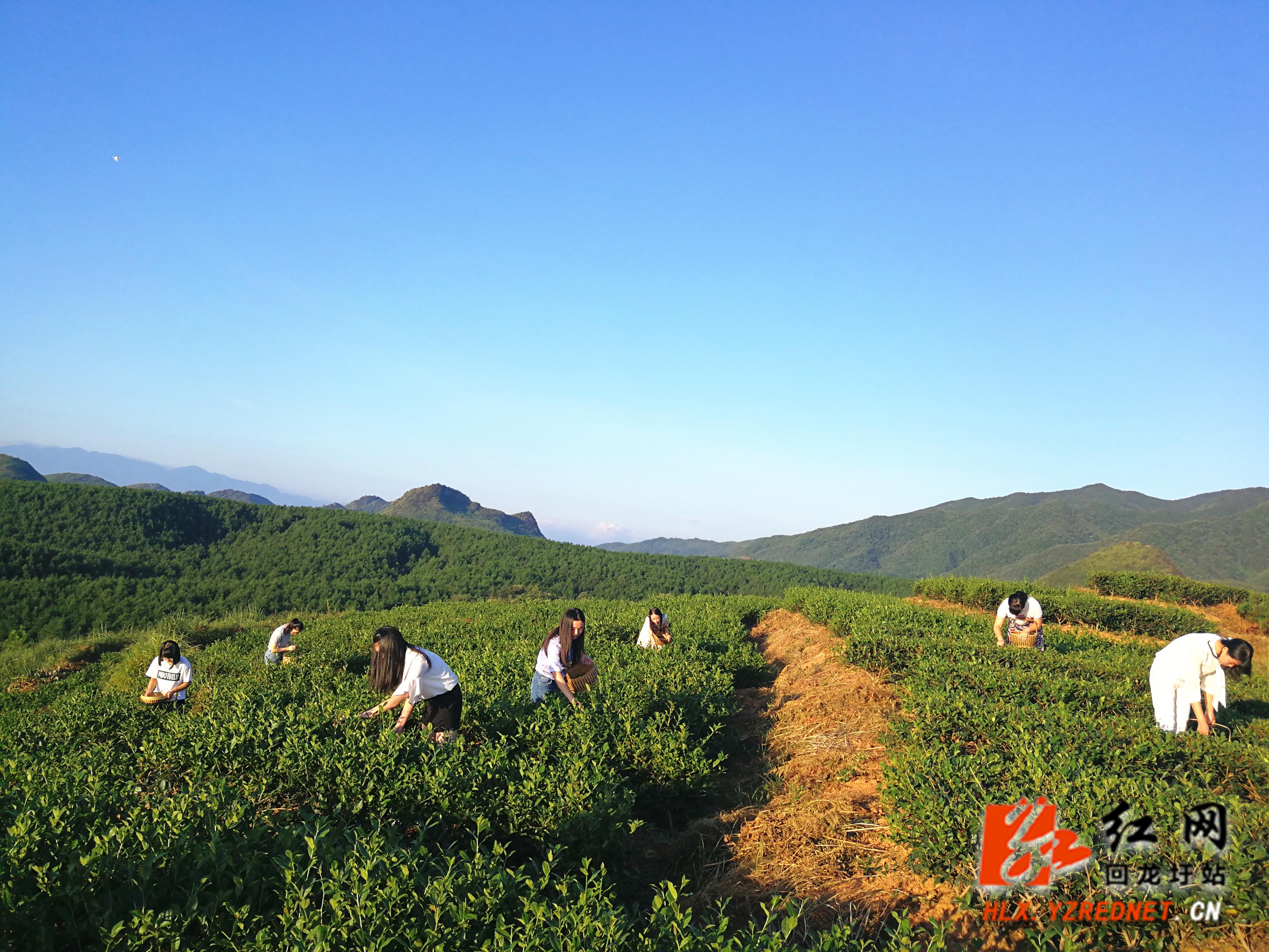 回龙圩:千亩生态茶成美丽风景画