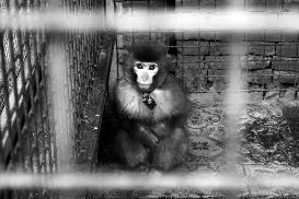 女子外出吃火锅被猴子抓伤店方:系其他单位寄养