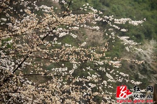 双牌县茶林镇近千亩山樱花盛情绽放