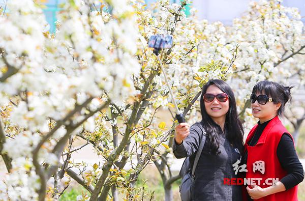春在衡阳 金甲梨花美如雪图片