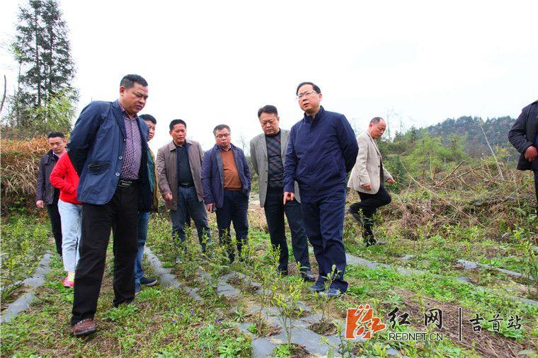 bob娱乐:刘珍瑜调研吉首市茶叶产业发展