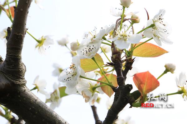 """朱自清便在《春》里这样写道:""""桃树,杏树,梨树,你不让我,我不让你,都"""
