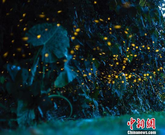 西双版纳一企业欲放飞十万萤火虫引客被警方叫停