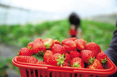 Changsha county offers visitors great fun in fruit picking