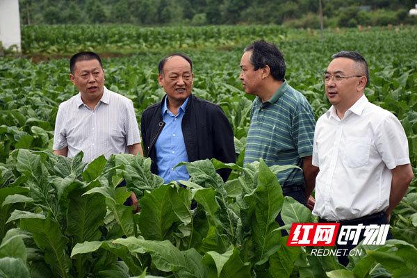 参加活动的领导和专家视察郴州仁义镇白云村的烟田。