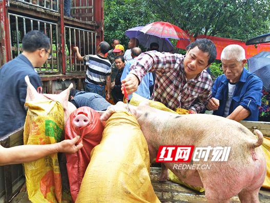 """金洞:永州职院出实招 送""""福猪""""助力脱贫"""