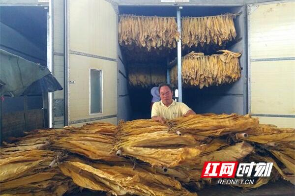 江永:烟农欢喜迎丰收