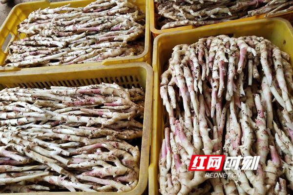 """江永:两代姜农种香姜 种出不一样的""""钱景"""""""