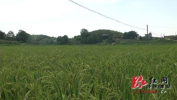 冷水滩区上半年农业经济呈现高质量发展态势
