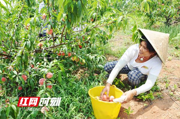 """江华桥市乡:""""茶果之乡""""振兴乡村促脱贫"""