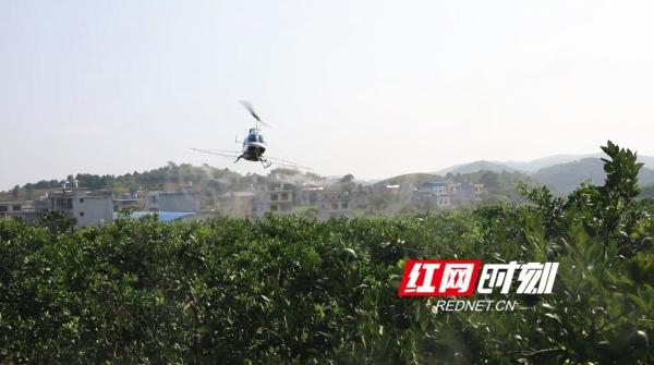 回龙圩:植保直升机防治黄龙病 助力柑桔产业统防统治