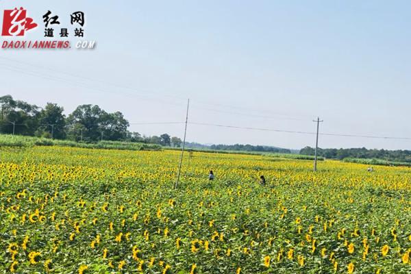 道县:油葵花开 美不胜收