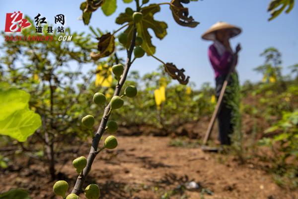 道县:无花果喜获丰收 为农民开辟增收致富路