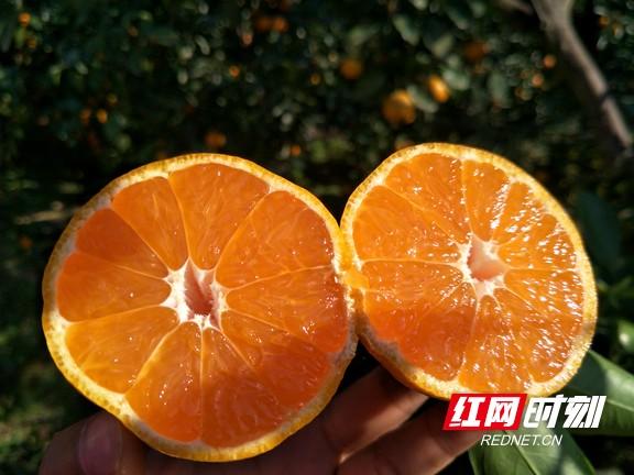 果肉香甜的安化柑桔。.jpg