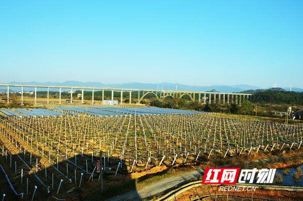 江华:绿色无公害葡萄基地初具规模