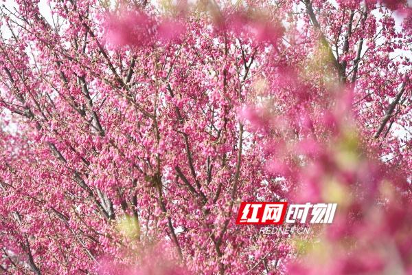 """道县:""""中国红""""樱花竞相绽放,繁花似锦"""