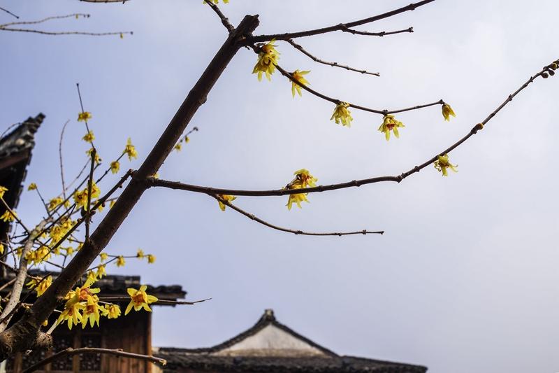 林家铺子前的蜡梅树上开满了蜡梅花,芳香四溢。(人民网姚欣雨 摄)