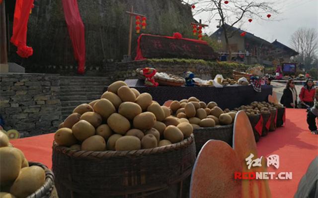 十八洞精准扶贫结硕果 黄金猕猴桃首次大规模成熟上市