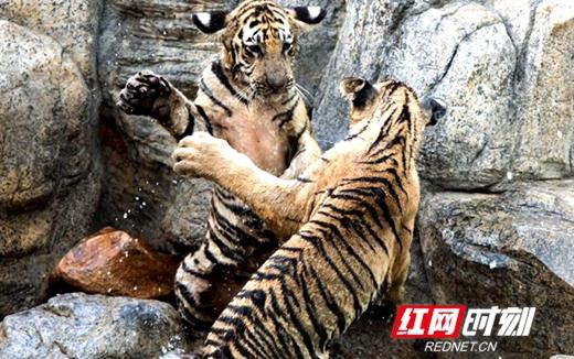 """爱上长沙县丨当心!这里有""""虎""""出没(图)"""