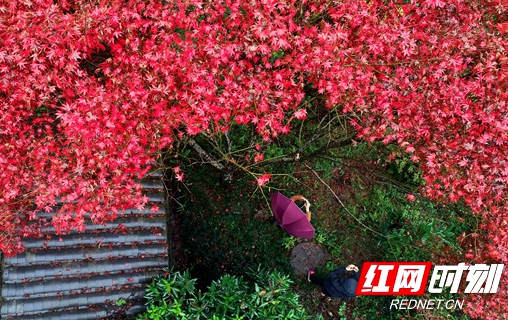"""张家界武陵源:初冬""""枫""""景如画"""